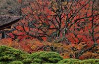 善峯寺の遊龍の松と紅葉 - たんぶーらんの戯言