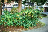 石楠花の黄葉とナナカマドの胴吹きとフィルムカメラの伝道 - 照片画廊