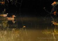 カイツブリ:Little grebe - 動物園の住人たち写真展(はなけもの写眞館)