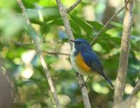 幸せを運ぶ青い鳥に会えました、、その2.。 - ぶらり探鳥
