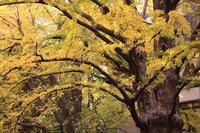 日比谷公園の首賭け銀杏など、秋風景 - 子猫の迷い道Ⅱ