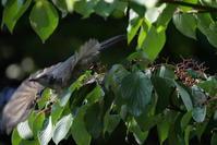 ご近所散歩中に出会ったアオゲラさんとヒヨドリさん - *Toypoodle  x3 + Birds*
