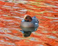 水鳥と水面の彩り - 星の小父さまフォトつづり