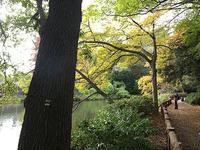 成蹊大学の欅並木の黄葉が見頃です。19日(日)18:30〜打ち上げ花火井の頭公園紅葉情報 - contemporary creation+ ART FASHION DESIGN