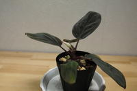 "Homalomena simunii ""Mentarang"" - PlantsCade -2nd effort"