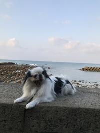11月11日、朝の海岸散歩はネムネムモード。 - 白黒きんぎょの3狆ごよみ