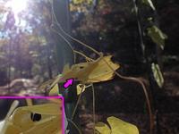 ダイミョウセセリの越冬幼虫 - 秩父の蝶