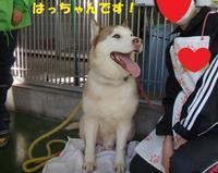 センター訪問(その2:ハスキー[MIX?]のはっちゃん、里親さん&預かりさん募集中です!) - もももの部屋(家族を待っている保護犬たちと我家の愛犬のブログです)