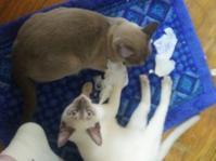 トンキニーズ  ローズン君 - MINKWIN Cattery &Pretty Aki