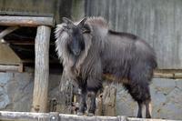 冬のヒマラヤタール - 動物園へ行こう