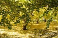 黄色の絨毯 - 季節のおくりもの