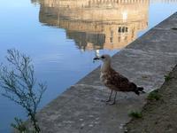 テヴェレ川のウミネコ (Roma 5) - エミリアからの便り
