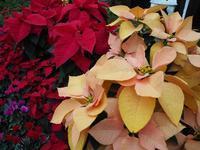 クリスマスシーズンを彩るポインセチア - 神戸布引ハーブ園 ハーブガイド ハーブ花ごよみ