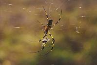 女郎蜘蛛の獲物 - TOM'S Photo