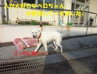 センター訪問(その3:紀州犬[MIX?]のペロちゃん、里親さん&預かりさん募集中です!) - もももの部屋(家族を待っている保護犬たちと我家の愛犬のブログです)