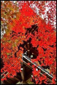 鐘楼の赤モミジ -  one's  heart