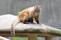 千葉市動物公園~アカハナグマ「ヒカリ」&「ミミ」 - 続々・動物園ありマス。