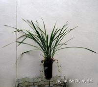 寒鳳蘭No.1832 - 東洋蘭風来記奥部屋
