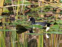 オオバンとカイツブリ - コーヒー党の野鳥と自然 パート2