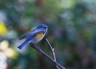 ルリのブルーは幸せの色、、 - ぶらり探鳥