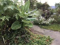 ツンベルギア - mosquitogarden