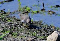 近くの沼で - ひげ親爺の探鳥日記