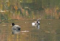 黒黒 - 多摩子の鳥見 ・ 散歩