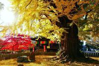 大銀杏の黄色に染まる鑁阿寺の秋 - 『私のデジタル写真眼』