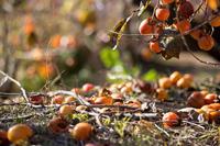 柿の木の思い出 - My diary