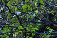 イカル11月23日 - 旧サンヨン野鳥撮影放浪記