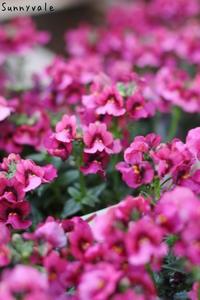 ネメシアメロウの寄せ植え - さにべるスタッフblog     -Sunny Day's Garden-