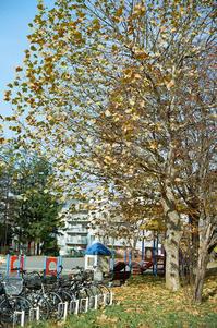 巨大プラタナスと世界一クリスマスツリーの愚 - 照片画廊