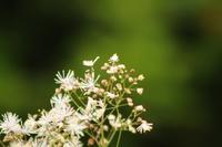 八島湿原:カラマツソウ - 都忘れと忘れな草