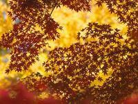 大銀杏が黄色に色付く鑁阿寺の秋点描 - 『私のデジタル写真眼』