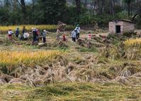 ネパール探訪(田舎の稲刈風景②) - 写真の散歩道