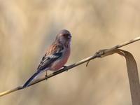 赤い鳥 - 『彩の国ピンボケ野鳥写真館』