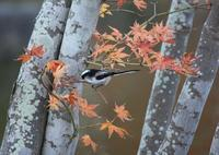 今日の鳥さん171124 - 万願寺通信