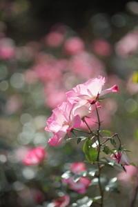 バラの花の撮り比べ - 月に叢雲 花に嵐