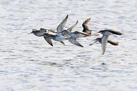 ツルシギの飛翔 - 比企丘陵の自然