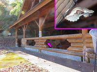 ジャコウアゲハの越冬蛹 - 秩父の蝶