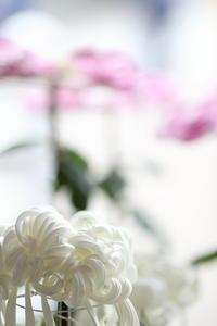 kiku - 花は桜木、
