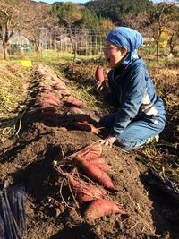 サツマイモ掘り、いまごろイチゴ苗定植 - にじまる食堂 & にじまる農園
