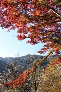 城峯公園 冬桜と紅葉 - photograph3