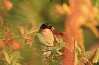 アカウソ - barbersanの野鳥観察