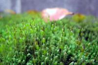 苔 - リリ子の一坪ガーデン