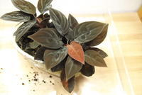 "Homalomena insignis ""Sarawak"" - PlantsCade -2nd effort"