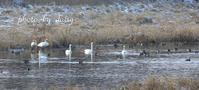 DB  初冬の北海道長都沼水鳥たちのいる沼 - ロマンティックフォト北海道☆カヌードデバーチョ