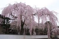 紅枝垂れ桜(2013年3月) - ノラくんの世界Ⅱ