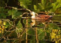 カルガモ:Spot-billed duck - 動物園の住人たち写真展(はなけもの写眞館)