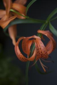 11月18日(土)くもり15/8℃ゆり根の花 - 日々の皿